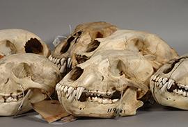 北大植物園資料目録(7)阿部永博士寄贈 哺乳類標本目録北海道大学農学部博物館資料目録(1)折居彪二郎氏採集動物標本目録. Mitoshi  Tokuda.1932: A List of the