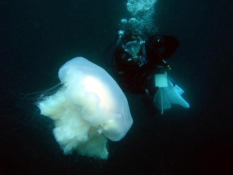 「キタユウレイクラゲ ダイビング 」の画像検索結果