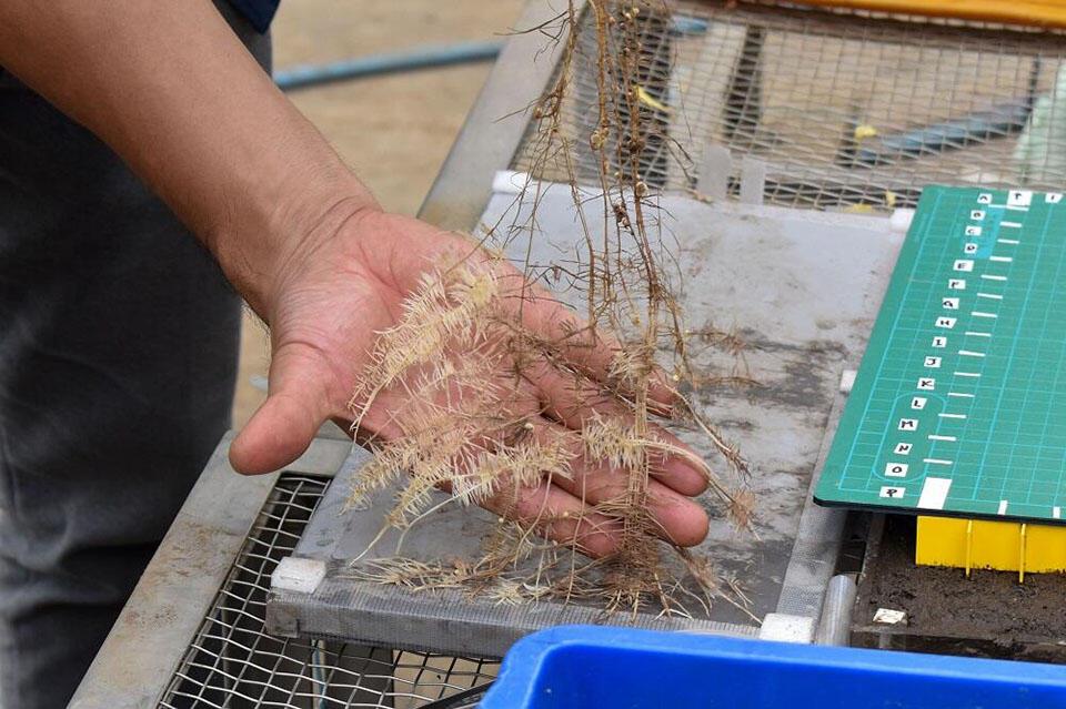 根箱を開くと、フサフサとしたクラスター根を見ることができる