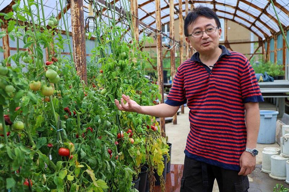 約7品種のトマトを育てている渡部准教授