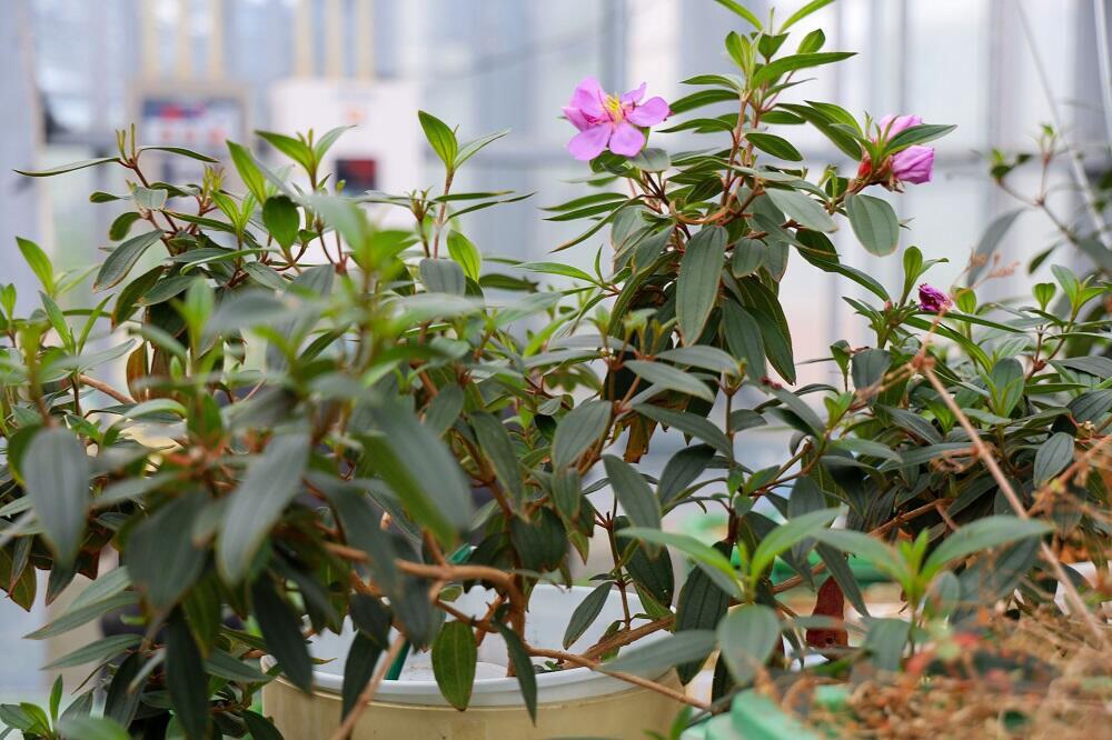 温室で栽培されているメラストーマ